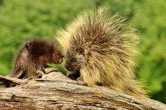 Mother porcupine and her baby royalty free stock images
