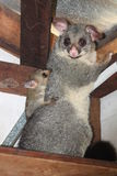Mother Possum and Baby Stock Photos