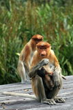 Mother Proboscis Monkey Stock Photos