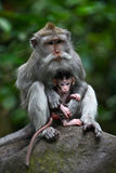 Mother protecting baby monkey Royalty Free Stock Photography