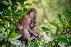 Mother Protecting Baby Monkey. Captured in southern Thailand royalty free stock photography