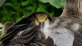 Little baby Goose stock photos