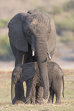 Mother protection. A mother elephant protecting her infant bay by draping her trunk over the side of the body of the baby elephant Stock Photos