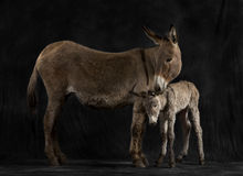 Mother provence donkey and her foal against black background Royalty Free Stock Photo