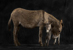 Mother provence donkey and her foal against black background Royalty Free Stock Image