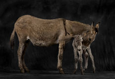 Mother provence donkey and her foal against black background Stock Image