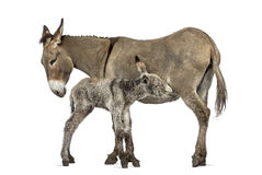 Mother provence donkey and her foal feeding Royalty Free Stock Images