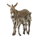 Mother provence donkey and her foal isolated on white Royalty Free Stock Photo