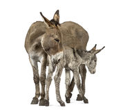 Mother provence donkey and her foal isolated on white Stock Images