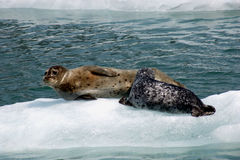 Mother and Pup. Mother seal and pup on ice flow, pup is nursing royalty free stock photography
