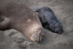 Northern Elephant Seal Mother and Pup Stock Photography