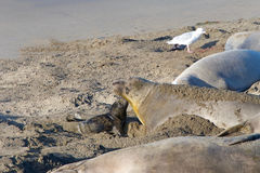 Mother and pup elephant seals Royalty Free Stock Photos