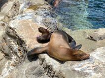 A mother and pup sea lion resting on a rock  at the Pacific Point Preserve area at Seaworld in Orlando, Florida