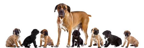 Mother and 7 puppies of Cane Corso Italiano  together Stock Photography