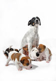 Mother and puppies jack russel terrier Stock Images