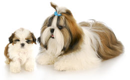 Mother and puppy Royalty Free Stock Photo