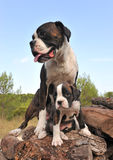 Mother and puppy boxer Stock Photo