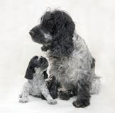Mother and Puppy Cocker Spaniel Blue Roan Stock Image