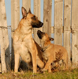 Mother and puppy dogs. Puppy and mother purebred belgian shepherd malinois Stock Image