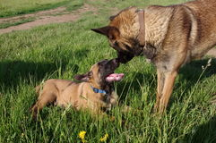 Mother and puppy dogs. Belgian shepherd - malinois Stock Image