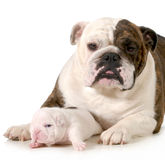 Mother and puppy Stock Photography