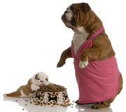 Mother and puppy meal time. Mother bulldog wearing pink dress standing beside puppy with full bowl of dog food Stock Photos