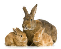 Mother Rabbit Stock Photos