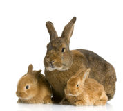 Mother Rabbit Royalty Free Stock Images