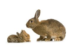 Mother Rabbit Stock Photo