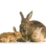 Mother Rabbit Royalty Free Stock Photo
