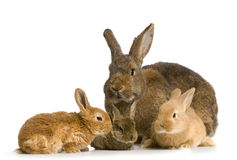 Mother Rabbit Royalty Free Stock Photography