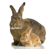 Mother Rabbit Stock Photography