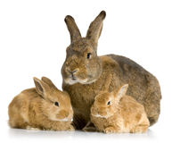 Mother Rabbit Royalty Free Stock Image