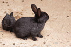 A mother rabbit with her baby. Two black rabbits - mother and child Stock Images
