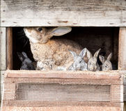 Mother rabbit with newborn bunnies Royalty Free Stock Photo
