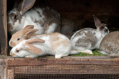 Mother rabbit with newborn bunnies Stock Photography