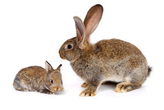 Mother rabbit with newborn bunny Stock Images