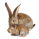 Mother rabbit with newborn bunny Royalty Free Stock Photography