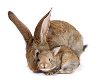 Mother rabbit with newborn bunny Royalty Free Stock Photo