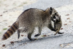 Mother raccoon escaping with baby Stock Photo