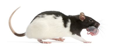 Mother rat carrying her baby in her mouth, 5 days old. In front of white background royalty free stock image