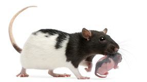 Mother rat carrying her baby in her mouth, 5 days old. In front of white background stock photography