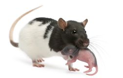 Mother rat carrying her baby in her mouth, 5 days old. In front of white background stock image