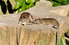 Mother rat with youngster Royalty Free Stock Image