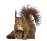 Mother Red Squirrel And Babies Royalty Free Stock Photography