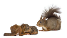 Mother Red squirrel and babies Royalty Free Stock Photos
