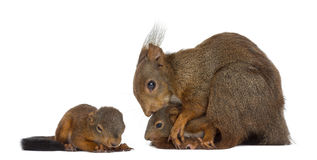 Mother Red squirrel and babies Royalty Free Stock Images