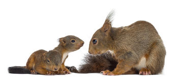 Mother Red squirrel and babies. In front of a white background stock image