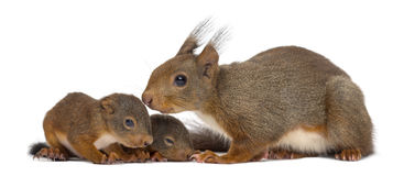 Mother Red squirrel and babies. In front of a white background royalty free stock photography