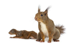 Mother Red squirrel and babies Royalty Free Stock Photo